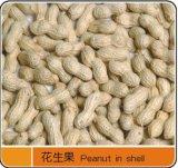 Excelente de exportación de maní con cáscara