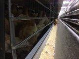 أبويّة دجاجة وشواء طبقة [هووس بويلدينغ] وتجهيز