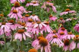 Estratto 4%Echinacoside del Echinacea per il supplemento dell'alimento