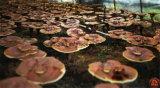 Capsule van het Poeder van de Spore van China de In het groot shell-Gebroken Ganoderma Lucidum van de goede Kwaliteit