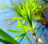 100% natürlicher weiße Weide-Barke-Auszug mit Salicin