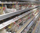 Un type de couche de poulet avec système de cage buveur automatique