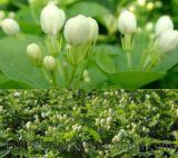 Extrait de fleur de ketmie de qualité d'approvisionnement d'usine