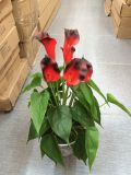 Alta qualità del giglio di Calla dei fiori artificiali Bush Gu1495851826503