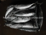 De gehele rond Bevroren Vissen van de Boniter (affinis Euthynnus)