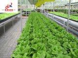 La plantation se développent en serre chaude de Multi-Envergure