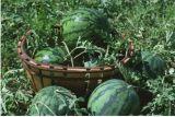 Bio- fertilizzante organico di Unigrow sulla piantatura dell'anguria