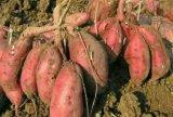 Fertilizzante organico del terreno di Unigrow sulla piantatura organica della patata dolce