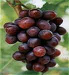 Extracto de plantas de semilla de uva