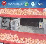 Jaula usada de la capa del pollo de la batería para la venta
