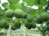 Extracto de Luohanguo 100% natural para los alimentos y el suplemento