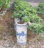 절벽 Ficus (HBH-R07)