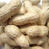 쉘에 있는 수출 좋은 품질 신선한 중국 땅콩