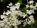 Eugenol Syzygium Aromaticum 98%/의 정향나무 과일 추출