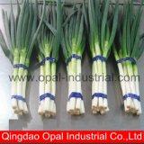L'exportation chinois Long Oignon Oignon vert frais