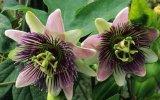 Estratto naturale del fiore di passione, flavoni dell'estratto di Incarnata della passiflora