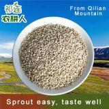 Le quinoa blanc de bonne qualité des semences