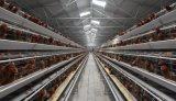 Frame Layer (egg) has Chicken Cage System for Poultry Farm