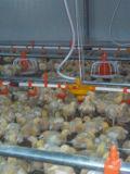 دجاجة يشرب خطوط مع حلول بلاستيكيّة