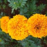 Marigold extraia para o Suplemento Natural