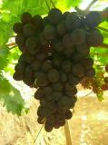 Unigrow organisches Biodüngemittel auf dem Trauben-Pflanzen