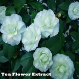 High Purity Tea Flower Extract for Medicine