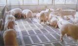 Moule à lattes de porc en béton a fait de bons matériaux PPR