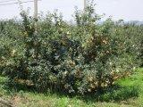 Uso agropecuario Protección de la fruta de la guayaba Viticultura de la bolsa de cubierta de papel