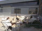 가축 가축 우리 야드 위원회를 위해 검술하는 직류 전기를 통한 8X12FT 체인 연결 임시 위원회
