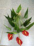 Alta qualità dei fiori artificiali di Anthirium Gu20170527113847