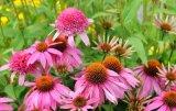 Высокое качество Echinacea purpurea Extract порошок Эхинацея Cichoric кислоты на 3%.