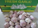 Aglio rosso fresco/raccolto bianco normale di Jinxiang dell'aglio