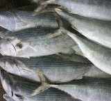 Gehele Ronde van de Nieuwe Komst van de Vissen van de Makreel