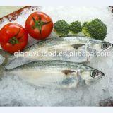De bevroren Verse Indische Vissen van de Makreel met Hoogstaande en Lage Prijs