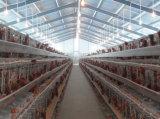 Il pollame commerciale assicura la pollicultura