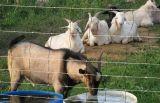 Prezzo professionale del comitato della rete fissa del nastro metallico del bestiame del fornitore della fabbrica della Cina