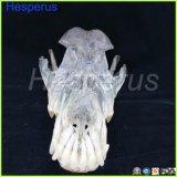 Собака зубов челюсти модель ветеринарных учебных