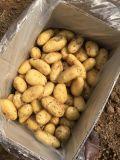 Pour l'exportation de pommes de terre fraîches du marché d'Arabie saoudite