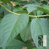 De Bladeren van Eucommia halen Chlorogenic Zuur (fr002)