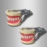 Zahnmedizinisches unterrichtendes erwachsenes StandardTypodont Vorführung-Zahn-Modell
