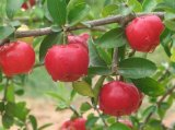 Extracto de la cereza del Acerola para superventas