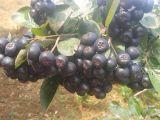 Extracto negro Aronia Melanocarpa Extract5%-25%Anthocyanidins del Chokeberry