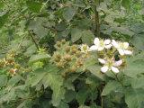 Bevroren Braambes of Bevroren Fruit