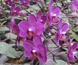 Phalaenopsis (Orchidée) (A61)