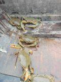 Microbiana Unigrow mejora la calidad del agua en la cría de cangrejo