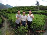 病気Resisitingと植わる健康の有機性茶のUnigrowの土改善