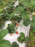 [أونيغروو] تربة مكيّف لأنّ [ستروبرّري] يزرع