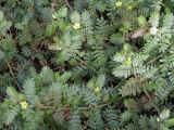 Saponines normales organiques de Terrestris de Tribulus d'extrait de centrale 40%-98%