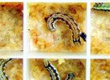 Les larves des insectes vivants Helicoverpa armigera pour la vente