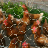 Engranzamento de fio da galinha, furo pequeno galvanizado